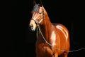 Derby Winning Horses_American Pharoah.jpg