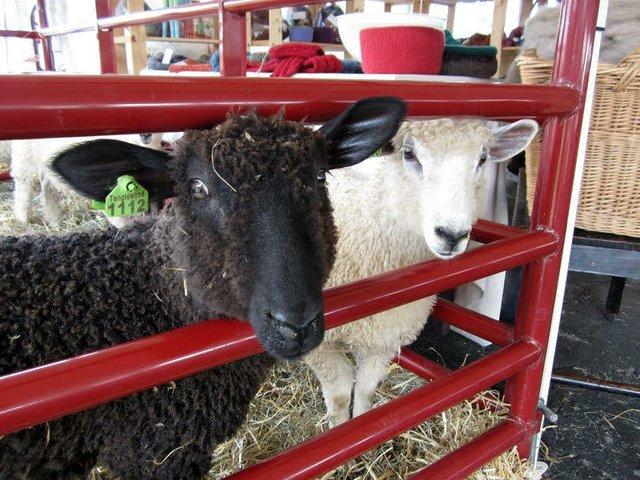 Kentucky Sheep and Fiber Festival