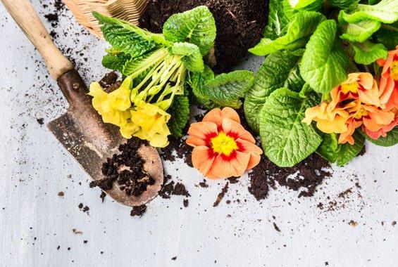 Primrose flowers with soil und scoop on gray wooden, gardening background