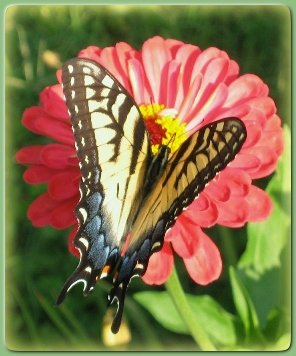 Zinnia &butterfly