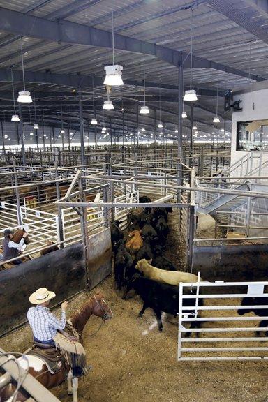 Bluegrass Stockywards-cattle sold.jpg