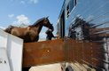 Equine Transport4.jpg